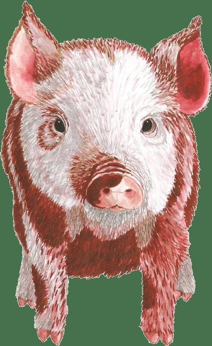 illustration cochon