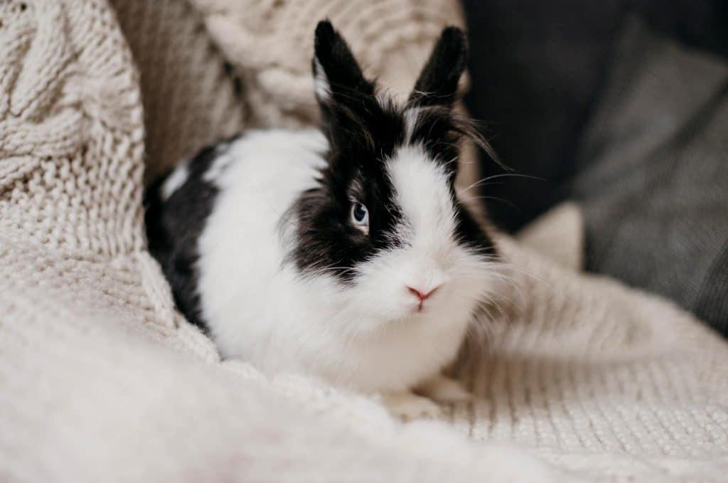 lapin blanc et noir